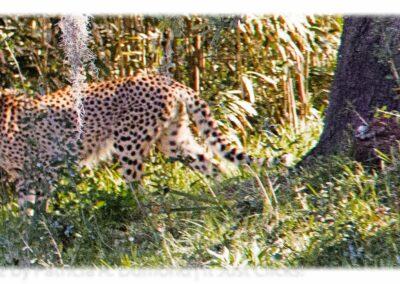 Cheetah jacksonville zoo 2013