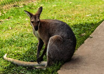 Grey kangaroo brisbane sanctuary
