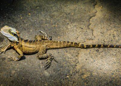 Iguana sydney zoo