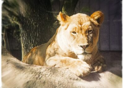 Lioness jacksonville zoo 2013