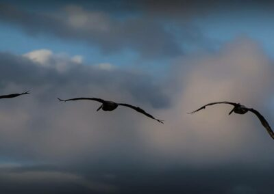 Pelican flight the outer banks 2013
