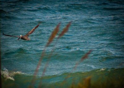 Pelican flight above waves the outer banks 2013