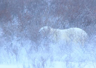 Polar bear churchill 2014