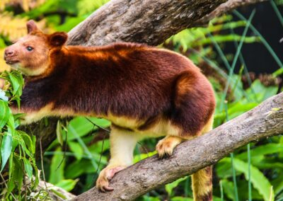 Tree kangaroo sydney zoo